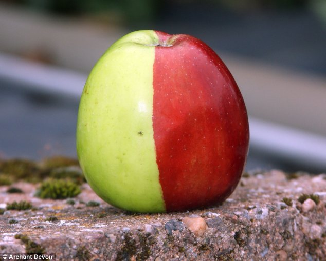 A fruit of two halves: This Golden Delicious apple seems to be having an identity crisis, split perfectly down the middle into red and green. Local horticulture experts are baffled by the specimen